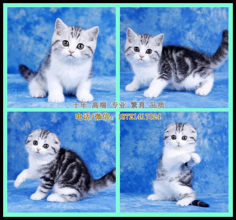 较棒的猫舍 纯种健康 精品虎斑 起司猫 布偶 常见品种都有