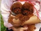 名流爱宠专业繁殖出售纯种健康小体爆红泰迪幼犬