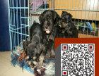 出售纯种罗威纳幼犬 健康保证 信誉保证 诚信保证
