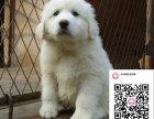 哪里有卖大白熊 出售纯种大白熊犬犬舍在哪里