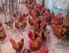养殖鸡鸭鹅优质鸡鸭鹅种苗批发提供技术指导