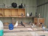 山西信鸽观赏鸽交流平台