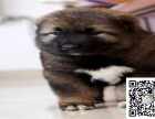全年 一至今最畅销 高加索幼犬 好品质 有保障