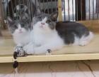 猫星人出售精品美短 快抢购