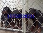 家庭护卫犬莱州红幼犬出售,公母均有,欢迎选购