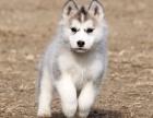 哈士奇幼犬多少钱.专业繁殖基地 品质有保障