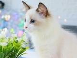 猫舍直销出售 布偶 品种齐全 全国统一批发价