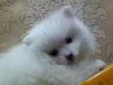 萨摩风度,博美健美狐狸聪明纯银狐犬自家的真实写照