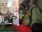 20公分血鹦鹉一对,自然光下的颜色