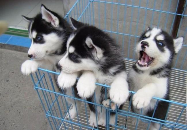 出售阿拉犬 拉拉犬哈士奇一比熊 泰迪 博美金毛犬品种齐全