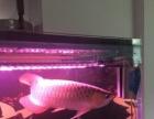 印尼精品红龙鱼