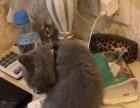 英国短毛猫四个月