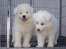 纯种萨摩耶犬 熊版萨摩耶幼犬出售澳版萨摩耶犬家庭犬宠物狗狗