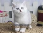 延边买猫 出售英国短毛猫蓝白渐层 纯种健康 价格优惠