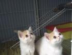 常年出售加菲小猫
