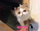 猫舍出售纯种加菲猫 净梵 红虎斑加菲幼猫