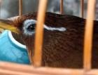 苏州长期出售精品,唱鸟,半熟鸟 ,生头鸟70