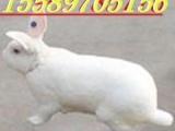 榆林贵州先顺养殖兔子种兔肉兔种兔