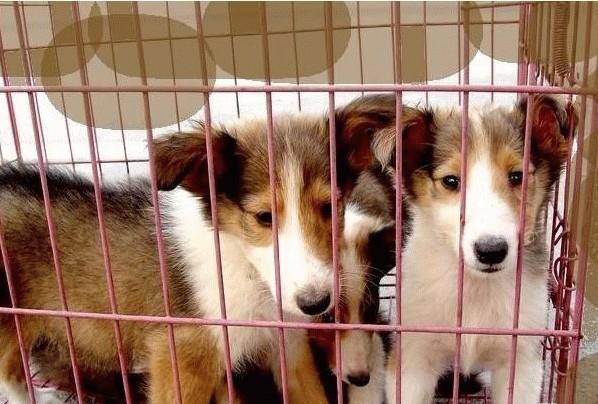 北京出售纯种苏格兰牧羊犬,保健康包纯种可上门签协议