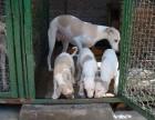 出售格力犬 灵提犬 惠比特犬