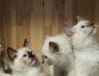 思思布偶猫舍出售纯种波兰回国血统小猫