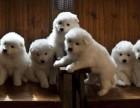 宝山区哪有金毛犬卖 宝山区金毛犬价格 宝山区金毛犬多少钱