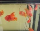 鹦鹉鱼 鱼缸 家养 鼓楼 长乐宫