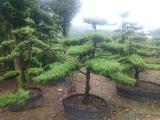 临水罗汉松造型树造型罗汉松 价格