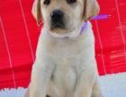 买纯种拉布拉多幼犬 视频看狗 送狗上门-可签协议