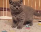 西宁维尼猫舍出售纯种健康蓝猫 英国短毛猫大包子脸幼猫崽