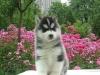超帅气赛级哈士奇幼犬