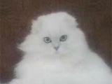 【本地家养】纯种的银渐层小猫,折耳猫,成年母猫