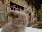 转让各品种垂耳兔 侏儒兔 猫猫兔 凤眼侏儒