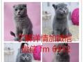 英国短毛猫银渐层立耳活体幼猫健康纯种英短英国短毛猫银