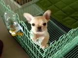 襄樊什么地方有狗场卖宠物狗/襄樊哪里有卖斗牛犬