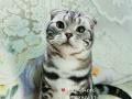 美短虎斑 折耳猫 美国短毛猫