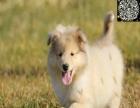 专业繁殖基地顶级苏格兰牧羊犬公母全可实地亲选保健康