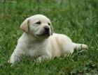 双血统霸气十足拉布拉多顶级护卫犬幼犬可送货
