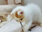 加菲猫弟弟两个月鸳鸯眼