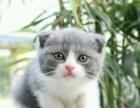 广州各种折耳猫猫出售 多少钱哪里有得卖