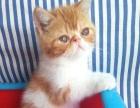 自家大猫生的小加菲猫异国短毛猫一手猫源价格亲民