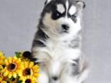 哪里有繁殖蓝眼三火哈士奇 各类纯种名犬