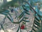 红豆杉园林、家庭、办公场所、绿化、美化佳品