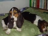 江门哪有巴吉度猎犬卖 江门巴吉度猎犬价格 巴吉度猎犬多少钱