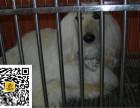 哪里有卖阿富汗猎犬阿富汗猎犬多少钱阿富汗猎犬幼犬