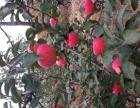 苹果果园出租