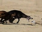 出售格力犬 格力幼犬 猎兔犬 品质好 质量保证