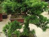 多年游龙形古桩罗汉松出售,各种绿植