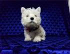 李虹梗犬专业有猎狐梗西高地白梗贝万能梗出售