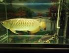 金龙鱼 高背金龙鱼 B级金龙鱼